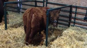 A calf on the first day of the Devon County Show