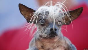 SweePee Rambo, a two-year-old Chihuahua Chinese Crested mix.