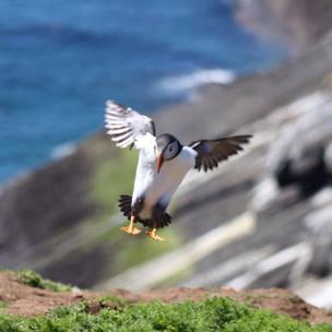 A puffin landing on Skomer