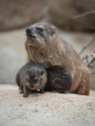 Rock Hyrax mother with two babies