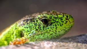 Sand lizard, one of the top 10 reptiles and amphibians avoiding extinction with the help of zoos.