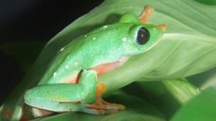 Morelet's leaf frog