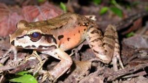 Mountain Chicken Frog