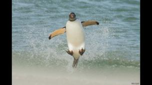 A gentoo penguin leaping over waves