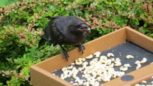 Crow on feeder