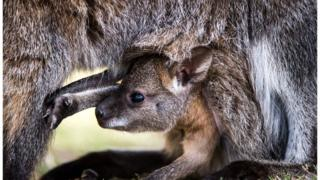A baby kangaroo keeps a close eye on its mother