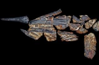 Dinosaur-era 'swordfish' discovered in outback Australia