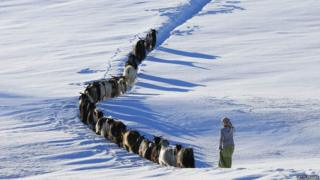 A shepherdess herds a goat flock through the snow