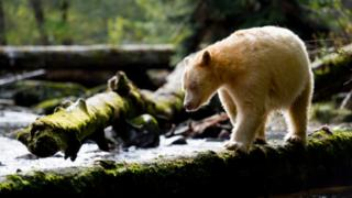 Kermode bear in the Great Bear Rainforest