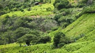 View of a coca field on a hillside in a rural area of Policarpa, department of Narino, Colombia, on January 15, 2017