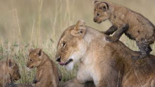 A lioness relaxes with her three cubs