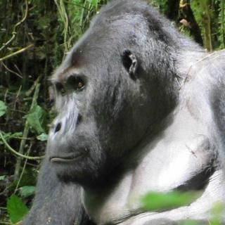 What Type Of Food Do Silverback Gorillas Eat