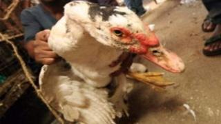 Un canard domestique entre des mains humains (archives)