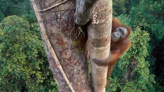 Orangutan by Tim Laman
