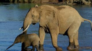 Elephants in Kenya, file