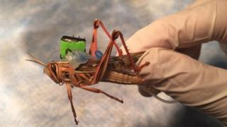 A locust with a sensor on it's back to test for dangerous chemicals