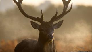 A Red Deer stag walks through bracken at sunrise in Richmond Park on October 27, 2017 in Richmond, England