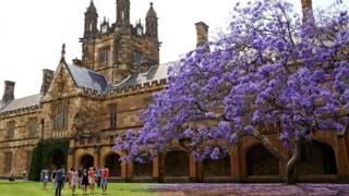 The jacaranda tree has been a fixture of the University of Sydney since 1928 (31 Oct 2016)