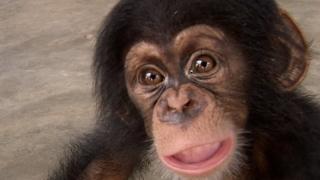 Двухмесячный шимпанзе, пойманный контрабандистами