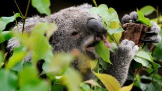 A koala chewing on gum leaves in a tree