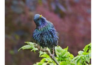 Iridescent Starling - Hazel Byatt / www.igpoty.com