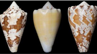 The compound (RgIA) in the study was obtained from the venom of the conus regius snail, or the royal cone.
