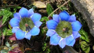 Gentiana flowers