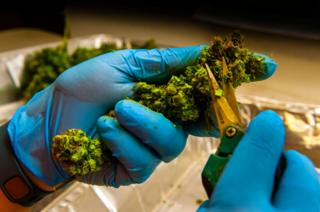 Flower being cut from a plant in the trim room. Medicine Man Denver (pot dispensary), Denver Colorado