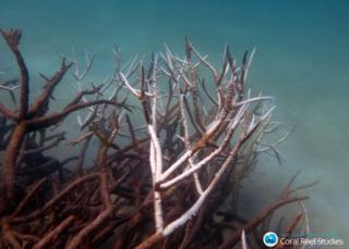 Dead and dying staghorn coral on central Great Barrier Reef in May 2016