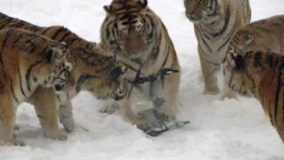 Tigres de Siberia con un dron
