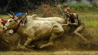 Carrera de ganado en el lodo en Bengala Occidental, India.