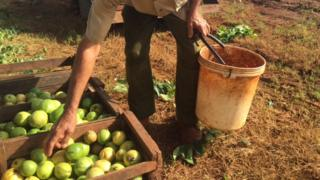 A Cuban farmer reaches for lime-green Guavas sitting in a crate