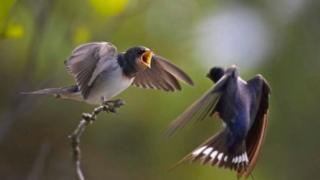 پرندے