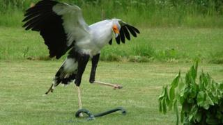 secretary bird kicking rubber snake