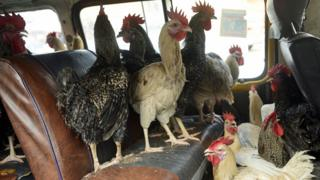 Chickens in a bus in Lagos, Nigeria