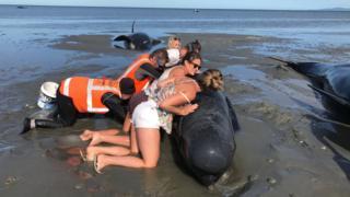 Ballena encallada en Nueva Zelanda