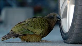 A kea pecking at a car tyre