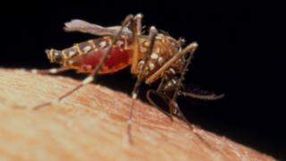 Female yellow fever mosquito, Aedes aegypti,