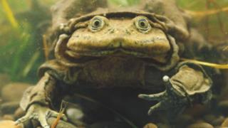 Giant Titicaca Lake frog, Telmatobius culeus