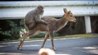 Цього разу вченим вдалося зазняти сексуальну поведінку японського макака