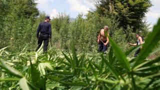 Police destroy a cannabis plantation in Ducaj (2009)
