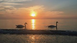 Swans in Crimea