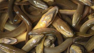 Pile of eels