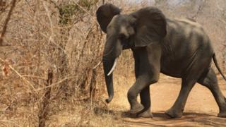 Elephant (file image)