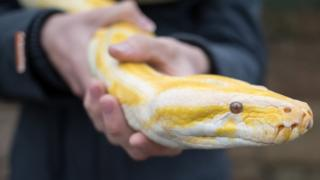 An albino Burmese Python handled at Noah's Ark Zoo Farm in Bristol, England, 2016