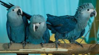 Spix's Macaws pictured on April 8, 2015 in Association for Conservation of Threatened Parrots in Schoeneiche, Germany
