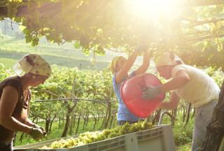 The Grape Harvest by Albert Ceolan