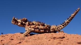 Demônio espinhento, lagarto australiano