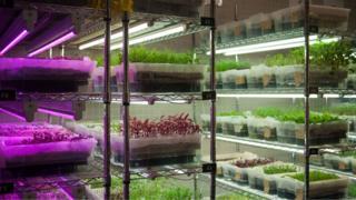 Edible Garden'ın iç mekanda yetiştirdikleri ürünler.