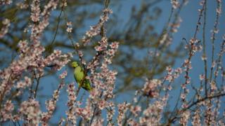 A green bird perches in a blossom tree. Behind are blue skies